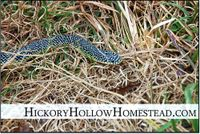 Speckled_king_snake